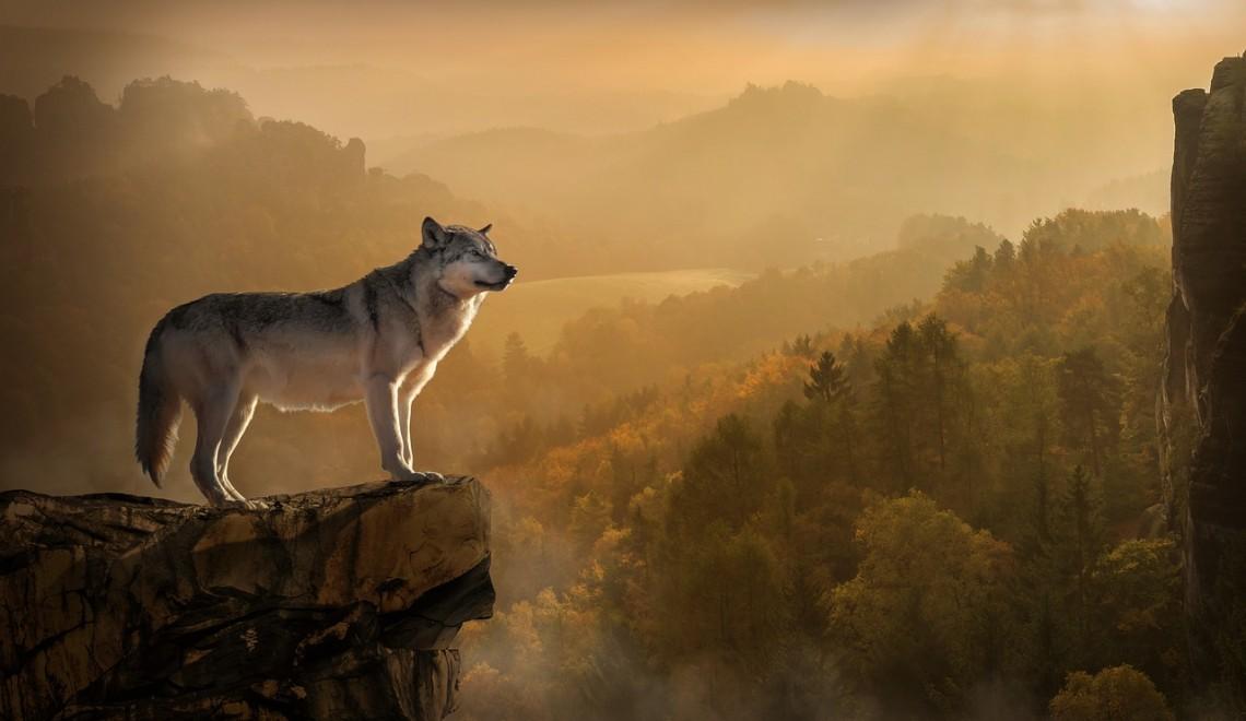 wolf-3158282_1280